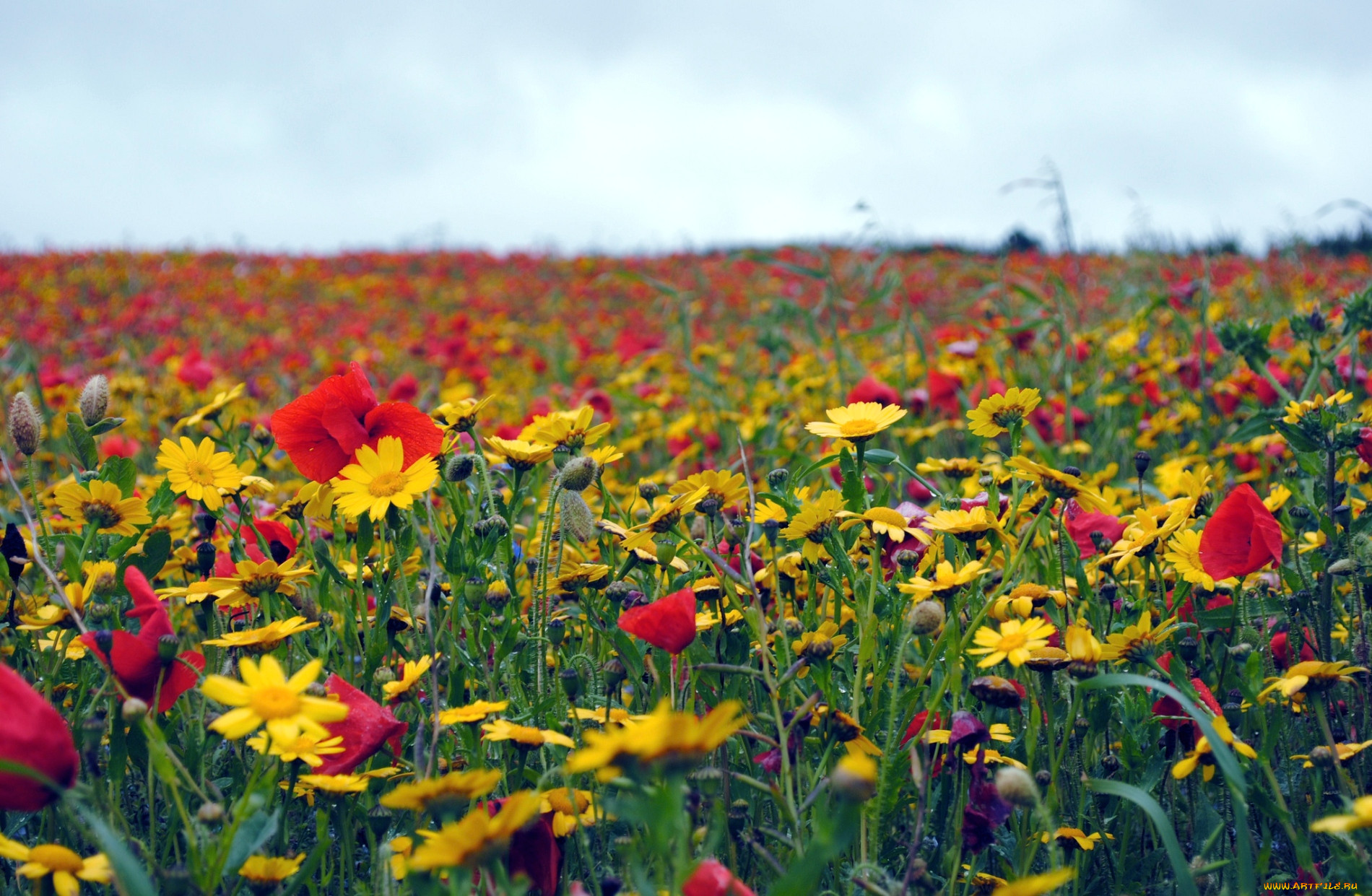 Цветы луговые полевые цветы обои для